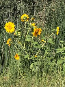 Native sunflowers by the River's edge